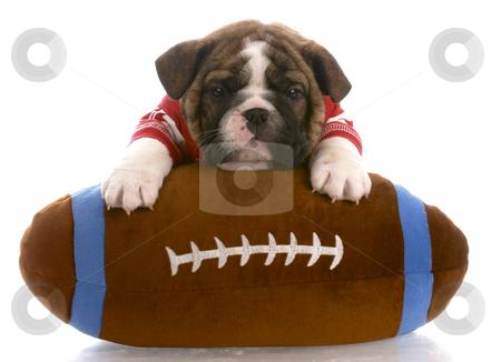 Sports hound stock photo, English bulldog puppy wearing red jersey laying on stuffed football by John McAllister