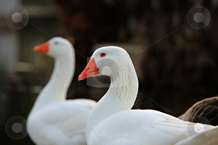 Two Gooses by the Lake stock photo, Two Gooses by the lake by Dion Altamirano
