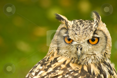 Bengal eagle owl stock photo, Closeup head portrait of a bengal eagle owl by Steve Mann