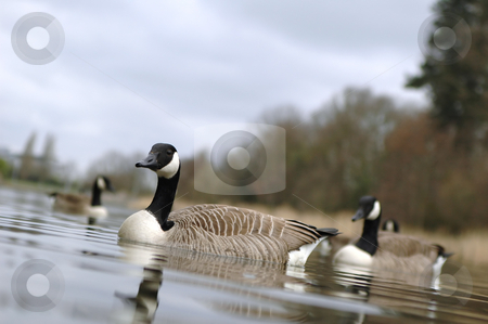 Canada geese stock photo, Small gaggle of canada geese on a lake by Steve Mann