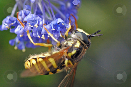 Wasp stock photo, Inverted wasp on lilac flower by Steve Mann