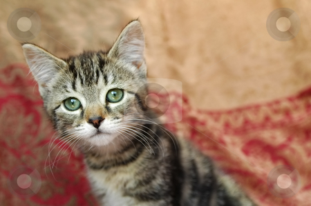 Tabby kitten stock photo, Curious playful tabby kitten checking things out by Steve Mann