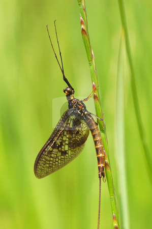 Mayfly stock photo, Scary looking yet harmless mayfly on vegetation by Steve Mann