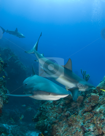 Multiple Reef Sharks On Reef stock photo, Caribbean Reef Sharks swim and eat fish above the reef at Murials Garden, a dive site located off Grand Bahama. by A Cotton Photo
