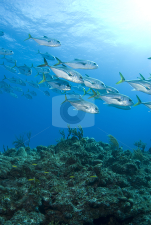Murials Reef Fish stock photo, A school of fish swim over a coral reef in the bahamas with a bright blue water and ocean's surface above by A Cotton Photo