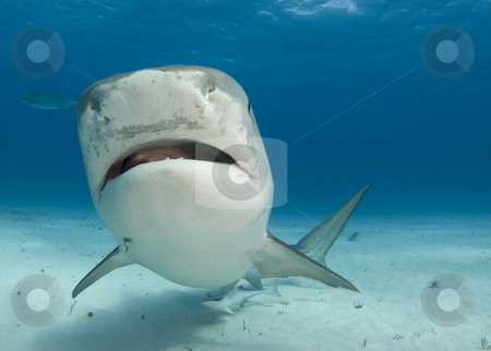Tiger Shark Nose Up stock photo, Tiger Shark swims by at Tiger Beach in the Bahamas. by A Cotton Photo