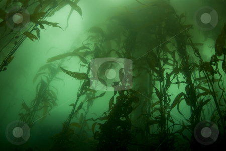 Kelp Forest Landscape stock photo, Giant Kelp Forest (Macrocystis pyrifera) underwater off California by A Cotton Photo