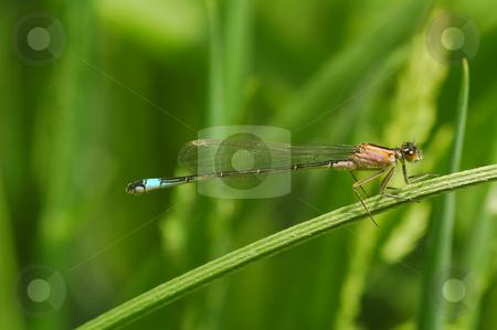 Damselfly stock photo, Delicate damselfly on vegetation by Steve Mann