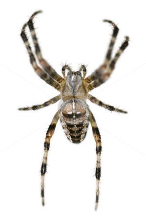 Arachnophobia stock photo, Common british garden spider on white by Steve Mann