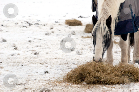 Horse feeding stock photo, Horse feeding on hay in a snow covered paddock by Steve Mann
