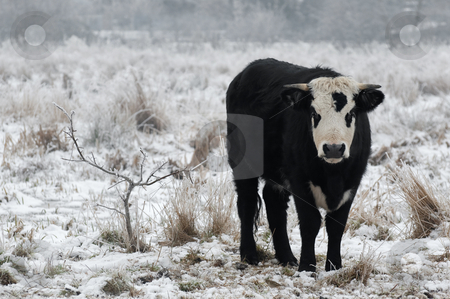 Winter bull stock photo, Young bull in a snow covered field by Steve Mann