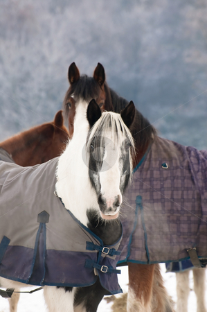 Winter horses stock photo, Two horses in a snow covered paddock by Steve Mann