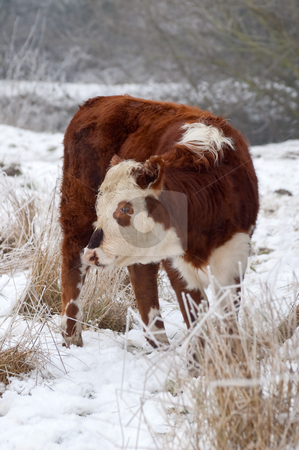 Female cow stock photo, Young female cow in a wintry field by Steve Mann