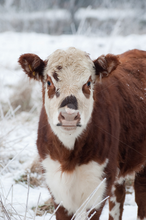 Cow stock photo, Young female cow in a wintry field by Steve Mann