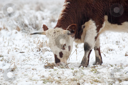 Young bull grazing stock photo, Young bull grazing in a snow covered field by Steve Mann