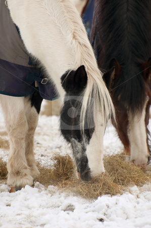 Horses feeding stock photo, Horses eating hay in a snowy paddock by Steve Mann
