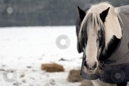 Winter horse stock photo, Horse eating hay in a snow covered field by Steve Mann