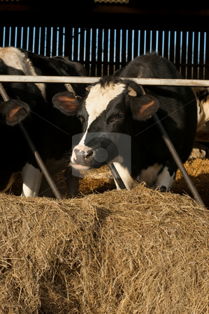 Cattle stock photo, Livestock cattle grazing in a farmyard barn by Steve Mann
