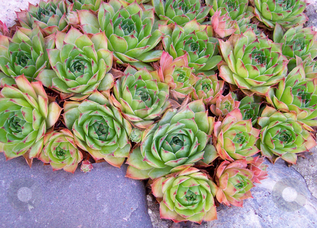 Hen And Chicks stock photo,  by Kathy Piper