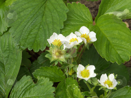 Strawberry Plants stock photo,  by Kathy Piper