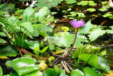 Water lily in the pond or lake  stock photo, Water lily in the pond lake stream or garden by Phil Morley