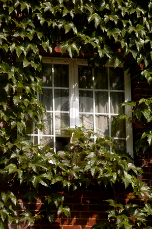 Creeping ivy stock photo, Cottage window almost covered with creeping ivy by Steve Mann