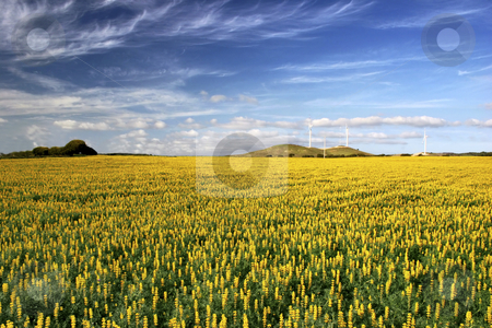 Yellow field with flowers stock photo, Yellow flowery landscape with a great ble cloudy sky by ikostudio
