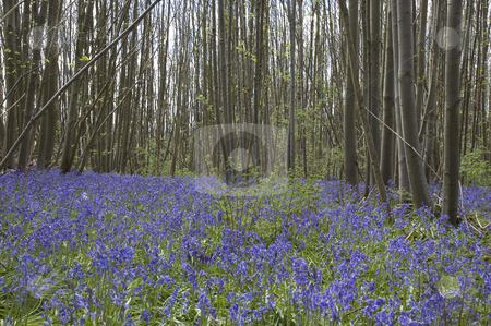 Bluebell  woods stock photo, Blue bells in the woods in spring by Mark Bond