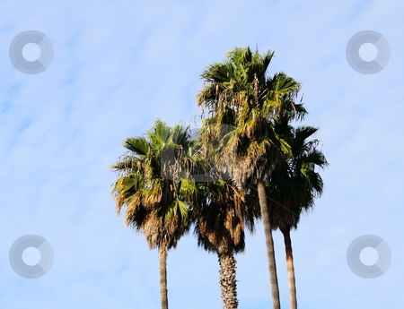 Palm trees stock photo, Four palm trees with a beautiful blue sky in the background by Henrik Lehnerer