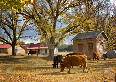 Cows in autumn stock photo, Image of cows on the farm in autumn by Phil Morley