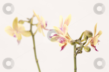Yellow orchid stock photo, A yellow orchid set against a plain background by Martin Garnham