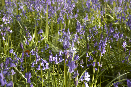 Bluebells stock photo, A view of Bluebells in spring in the UK by Mark Bond