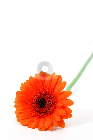 Isolated flower on white stock photo, Gerbera daisy flower isolated on white background by Gunnar Pippel