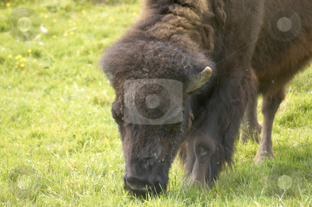Bison stock photo, An american bison or american buffalo close up. by Mark Bond