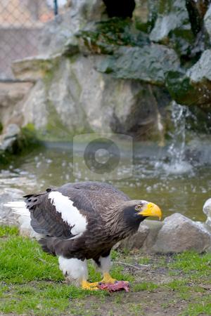 Eagle stock photo, Eagle eating meat by Nikola Spasenoski