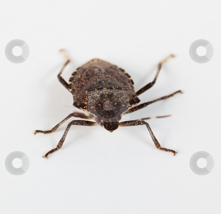 Stink bug facing the camera stock photo, Stink bug or Shield bug facing the camera on a white background by Steven Heap
