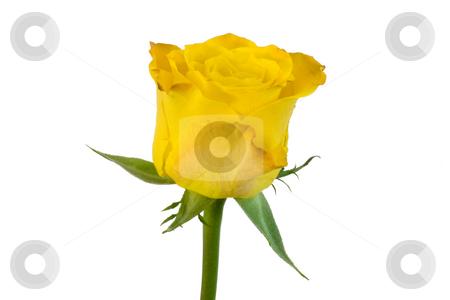 Yellow rose stock photo,  by Bo Valentino