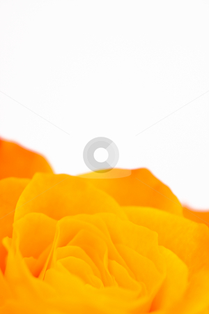 Orange rose stock photo,  by Bo Valentino