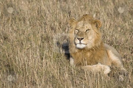 Male Lion stock photo, Male lion, Masai Mara, Kenya, Africa by mdphot