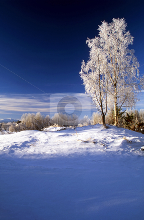 Blue winter day stock photo, Frosted trees in January by Sasas Design