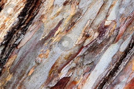 Bark eucalyptus stock photo, Close up texture shot of eucalyptus tree bark for textures by Henrik Lehnerer