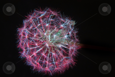 Colored dandelion stock photo, A dandelion illuminated with a colored light by Rob Wright