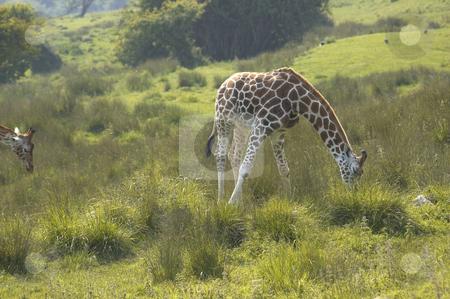 Giraffe stock photo, A Giraffe feeding on the grass in wildlife park in England by Mark Bond