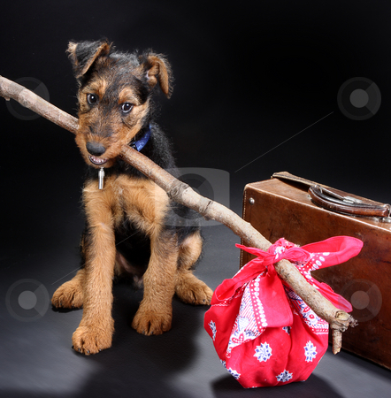 Travelling terrier stock photo, 8 weeks old little airedale terrier puppy dog ready for travelling by Anneke