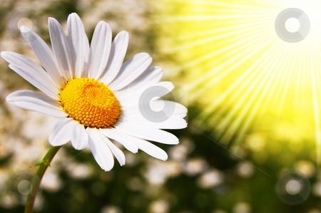 Daisy flower on a summer field stock photo, Daisy flowers on a sunny summer field by Gunnar Pippel