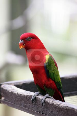 Australian King Parrot stock photo, An Australian King Parrot (Alisterus scapularis) at a bird park by Adrin Shamsudin