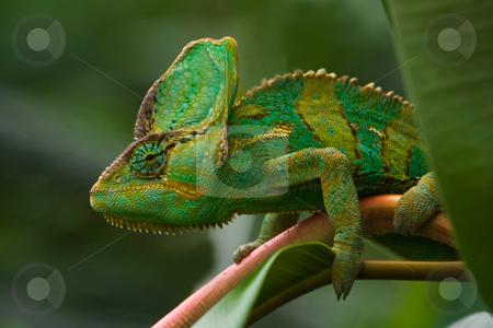 Green Jemenchameleon stock photo, Beaitiful green Jemen chameleon climbing a branch and looking around by Colette Planken-Kooij