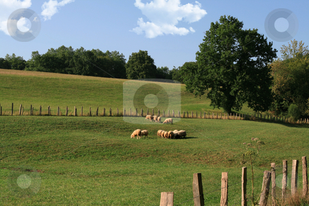 Sheep in a meadow stock photo, Sheep herd in a green country field by Laurent Davoust