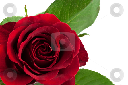romantic red rose stock photo, Beautiful flower