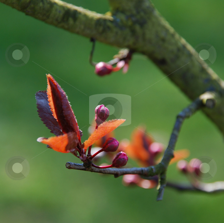 Spring stock photo, Early spring buds close-up on green background by Valentyna Chukhlyebova